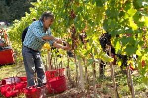 Sonoma Wine Harvest 2014