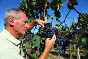 Harvest 2014 Cutting Grapes