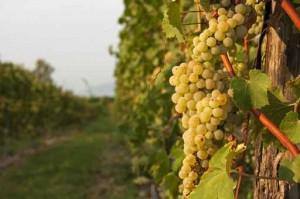 Sonoma County Harvest 2014